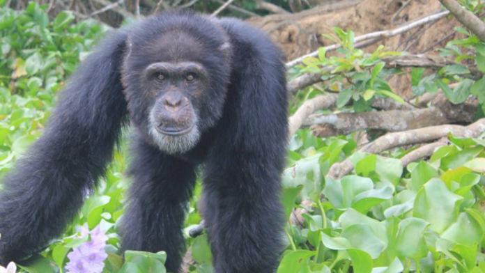Ponso Chimpanzé Braconnage Côte d'Ivoire