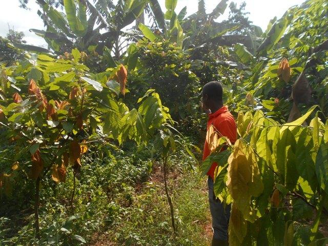 Forêt de Goin-Débé, Cacao, Conflit, Côte d'Ivoire