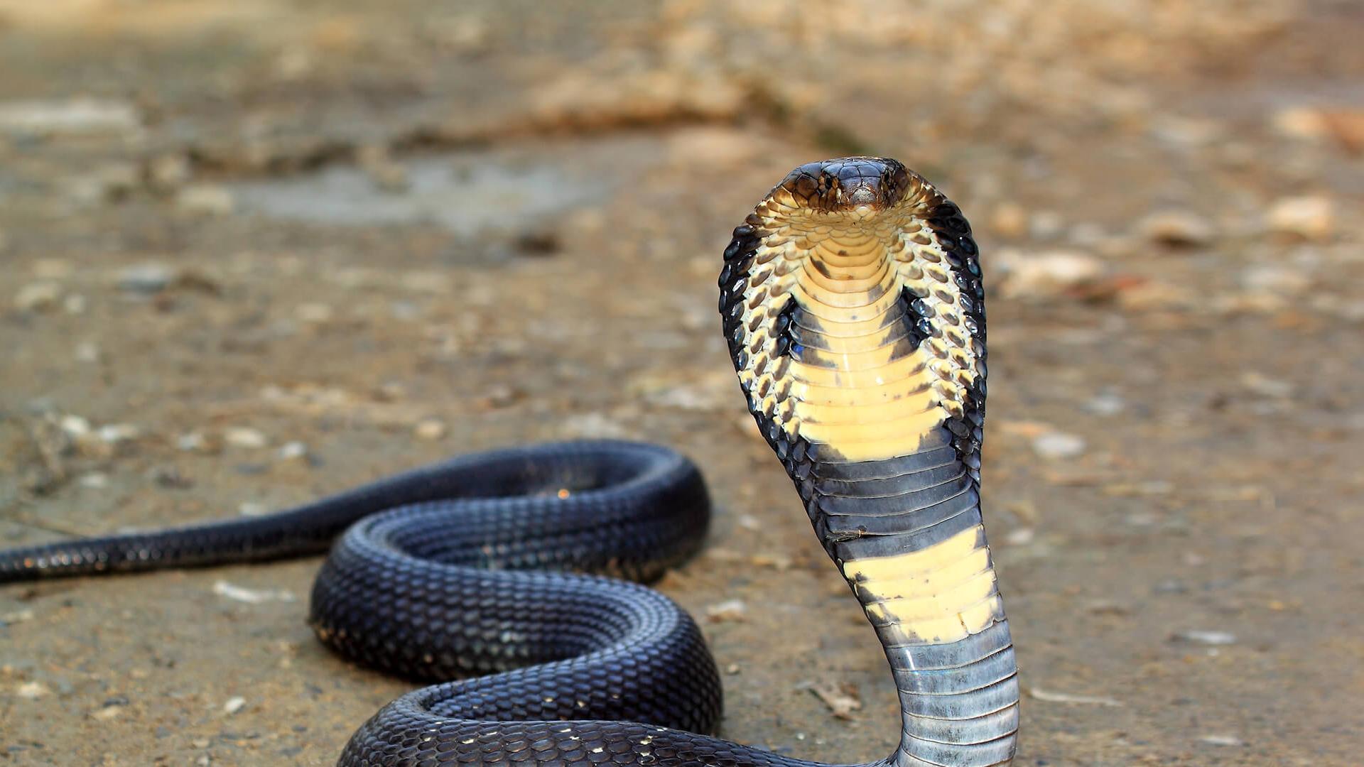 Nigeria Cobra Morsure Université