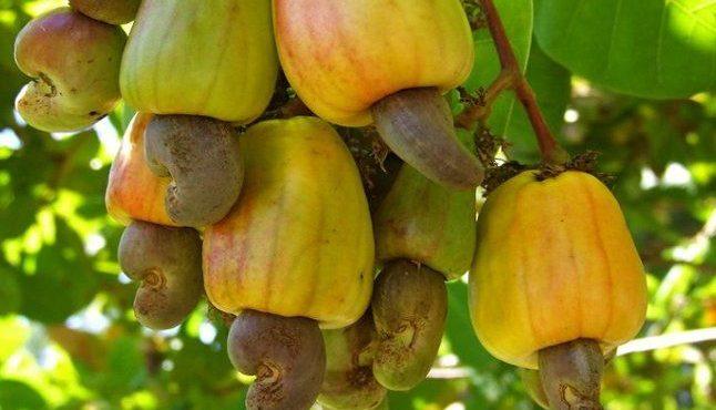 Guinée-Bissau noix de cajou commercialisation