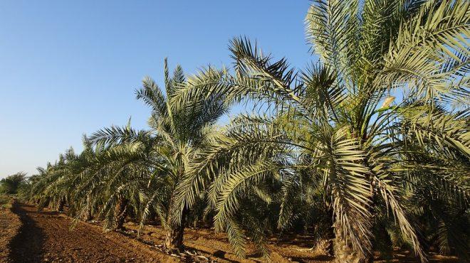 Mauritanie et commerce de la datte