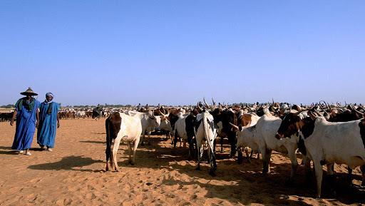 transhumance bovine
