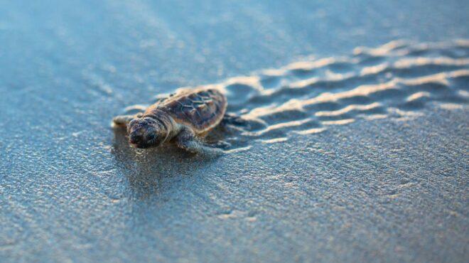 Le Cap-Vert s'investit dans la protection des tortues marines