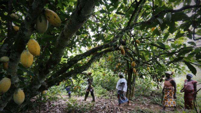 Culture du cacao au Liberia