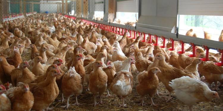 La grippe aviaire touche le Sénégal